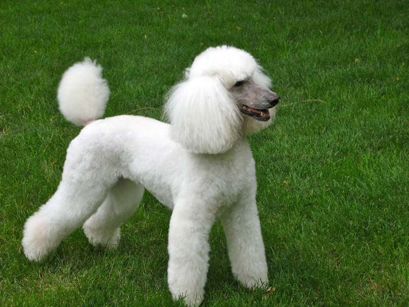Types Of Poodle Haircuts photo - 1