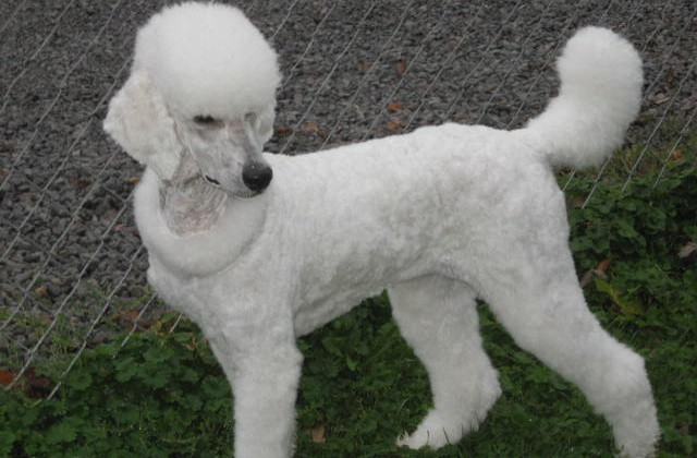 Types Of Poodle Haircuts photo - 3