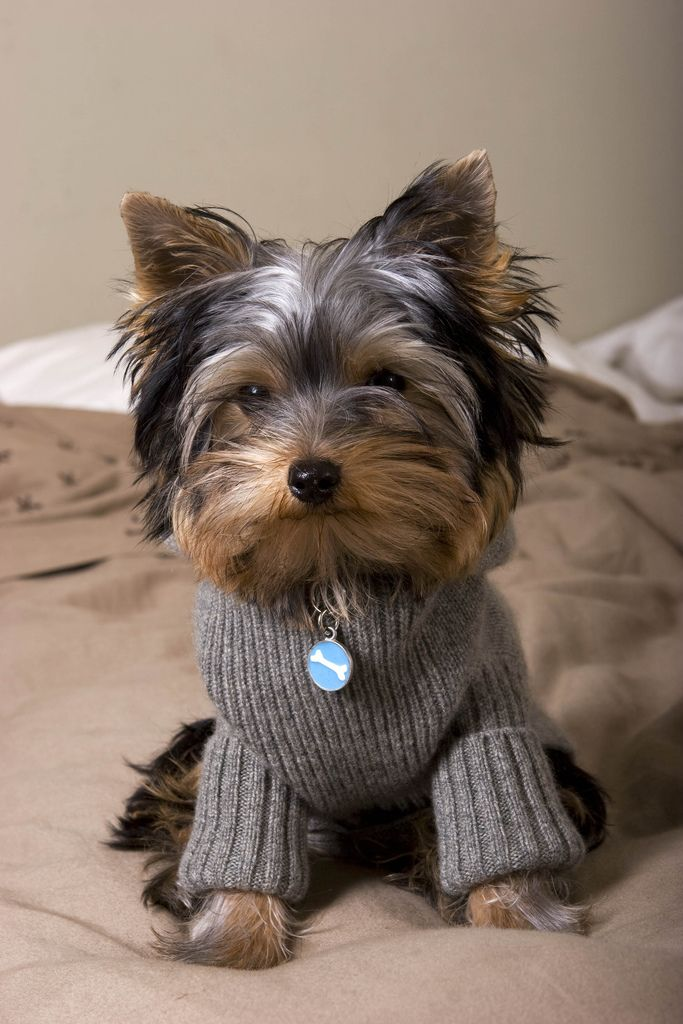 Yorkie Dog Sweaters Dress The Dog Clothes For Your Pets