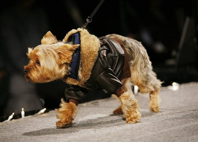 Yorkie Jackets photo - 1