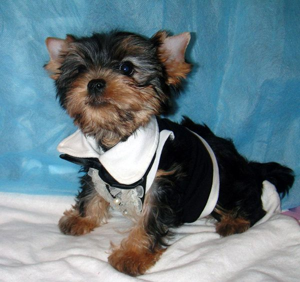 Yorkie Puppy Clothes photo - 3