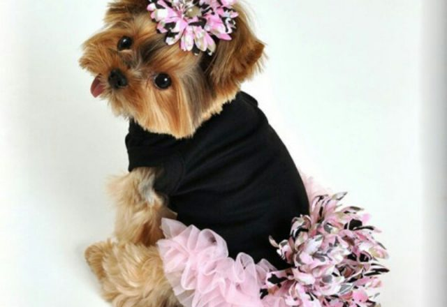 teacup yorkie clothes teacup yorkie sweaters 1497